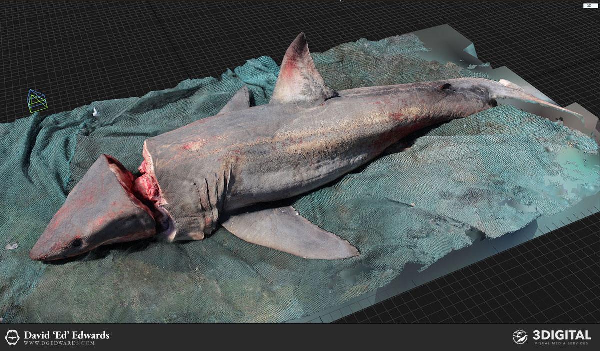 Great white shark photogrammetry