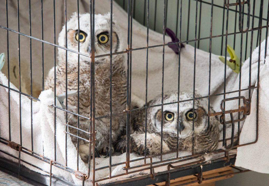 Two baby great horned owls in a cage indoors