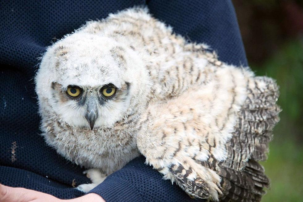 Female baby great horned owl