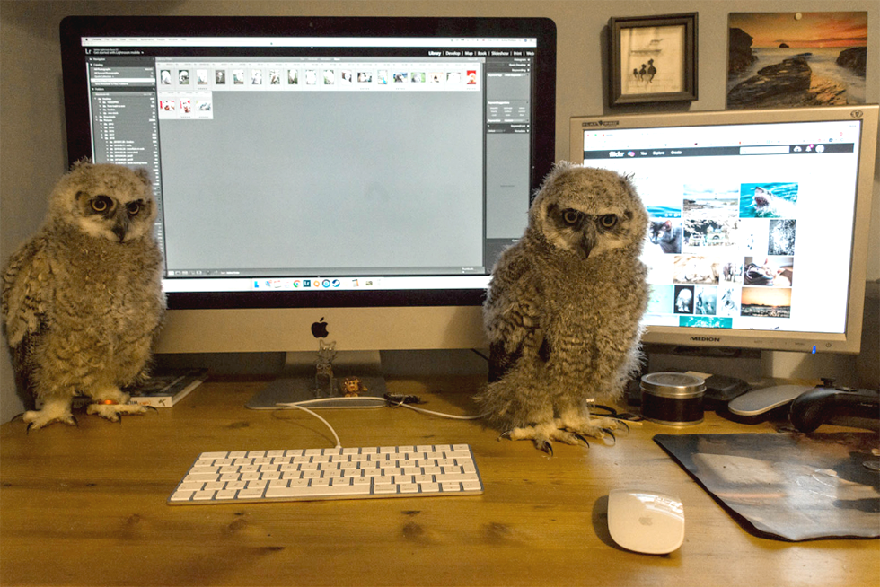 Great horned owls and Imac