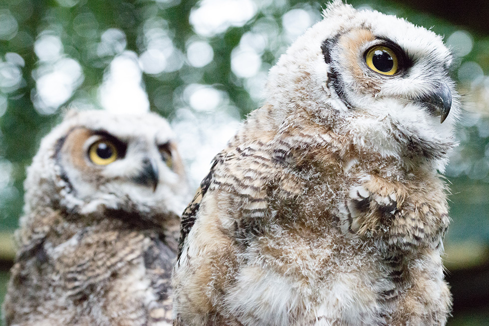 Great Horned Owl gallery