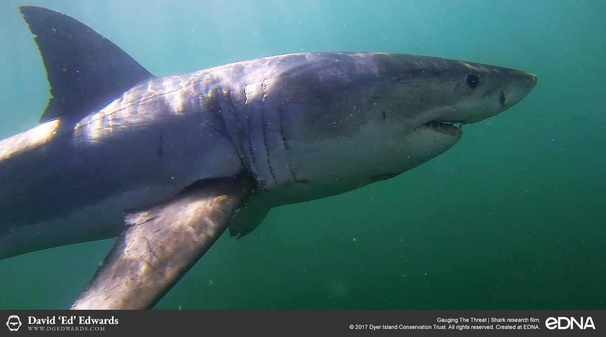 Great white shark filmed underwater in Gansbaai, South Africa
