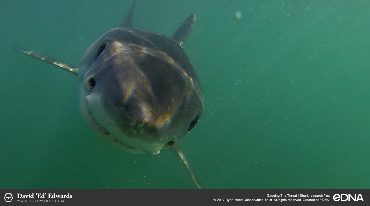 Underwater closeup of great white shark in Gansbaai, South Africa