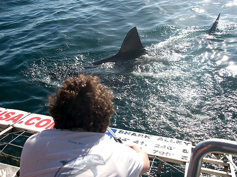 Researching great white sharks