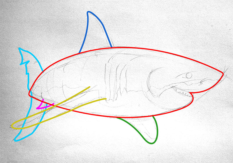 Great white shark drawing outlines