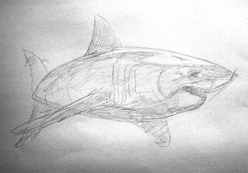 Great white shark drawing, shading