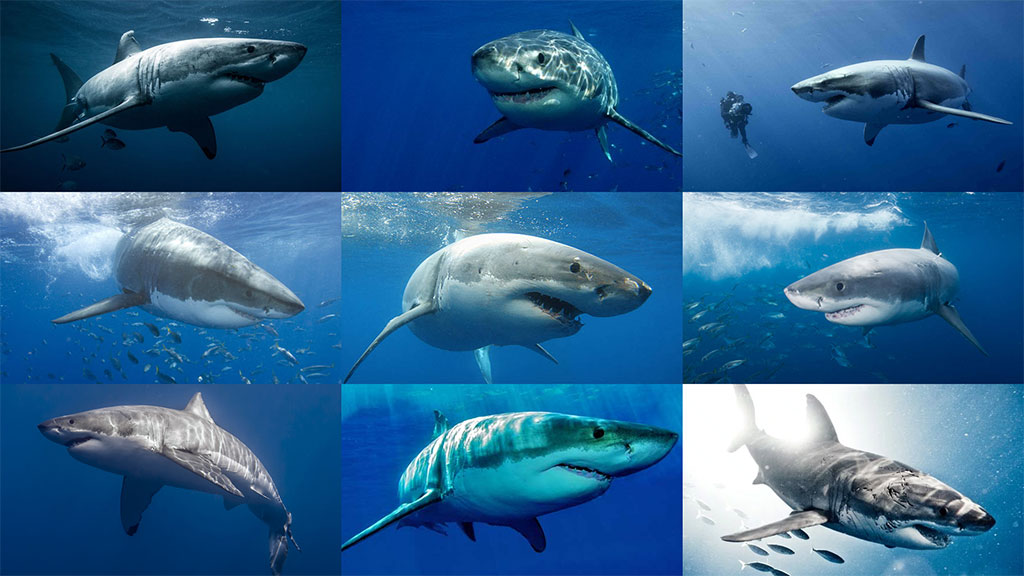 Great white shark reference photos