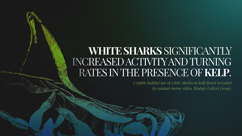 Cryptic habitat use of white sharks in kelp forest revealed by animal-borne video