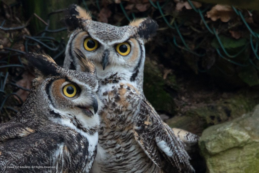 2 Great Horned Owls