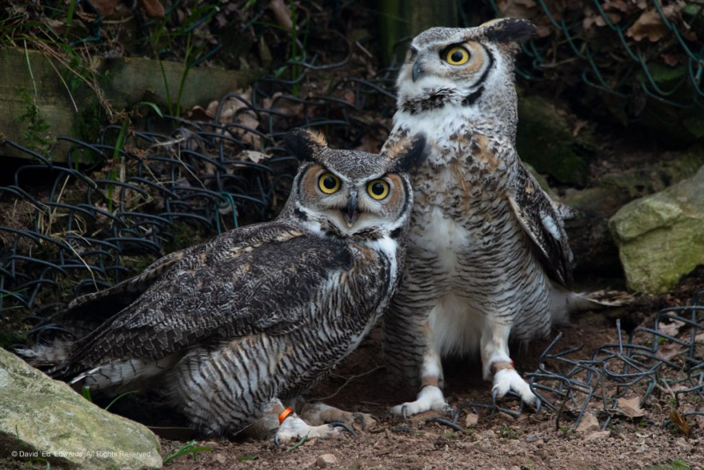 Will and Sassy, Great Horned Owls